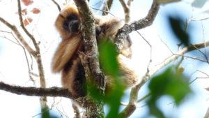 Monos en riesgo: tienen menor diversidad y podrían ser más vulnerables a la fiebre amarilla