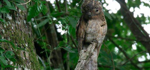 Andresito: Apareció un Urutaú coludo en el área del Corredor Biológico Urugua-í Foerster, un ave poco frecuente en la Argentina