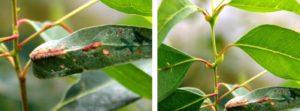 INTA: Estudian posible aplicación de  una especie de eucalipto como bioinsecticida para combatir la avispa de la agalla