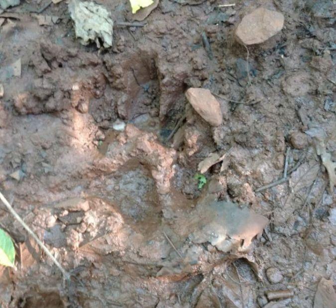 Agricultor de Bonpland denunció que un felino silvestre devoró uno de sus vacunos