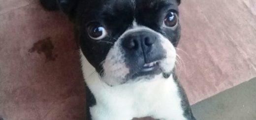 """La Policía frustró pago de """"recompensa"""" y recuperó un perro Boston Terrier en Posadas"""