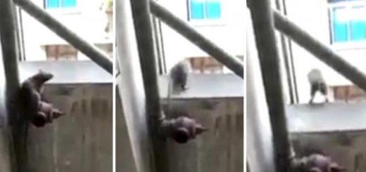 Video viral: una rata saltó al vacío para evitar ser atrapada