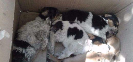 Desgarradora imagen de crueldad animal: cachorros abandonados en una caja murieron por el calor sofocante