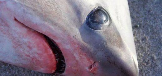 Estados Unidos: están muriendo tiburones en una playa por el frío