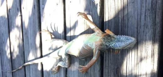 Ciclón bomba en EEUU: Iguanas y tortugas quedaron congeladas por el frío en Florida