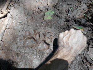 Conservación: Registraron huellas de un yaguareté en la reserva privada de vida silvestre Yacutinga en Andresito