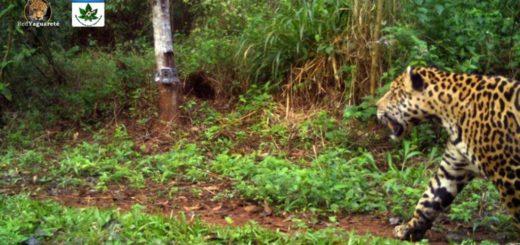 Obtuvieron imágenes de un nuevo yaguareté en Misiones