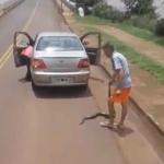 Video viral: una enorme curiyú mató a un yacaré y luego intentó comérselo