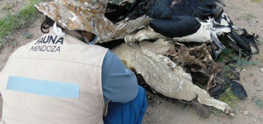 Mendoza: confirmaron que los cóndores fueron envenenados con carbofurano