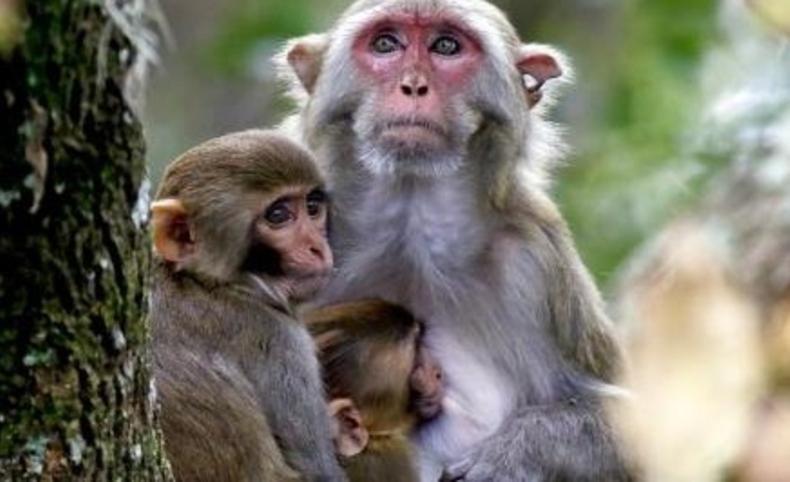 Denuncian matanza de monos por miedo al contagio de fiebre amarilla en Río de Janeiro