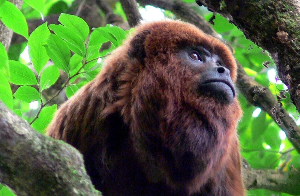 Conservación: La protección de los monos carayá rojo son importantes para el ecosistema de la selva misionera y para la salud pública