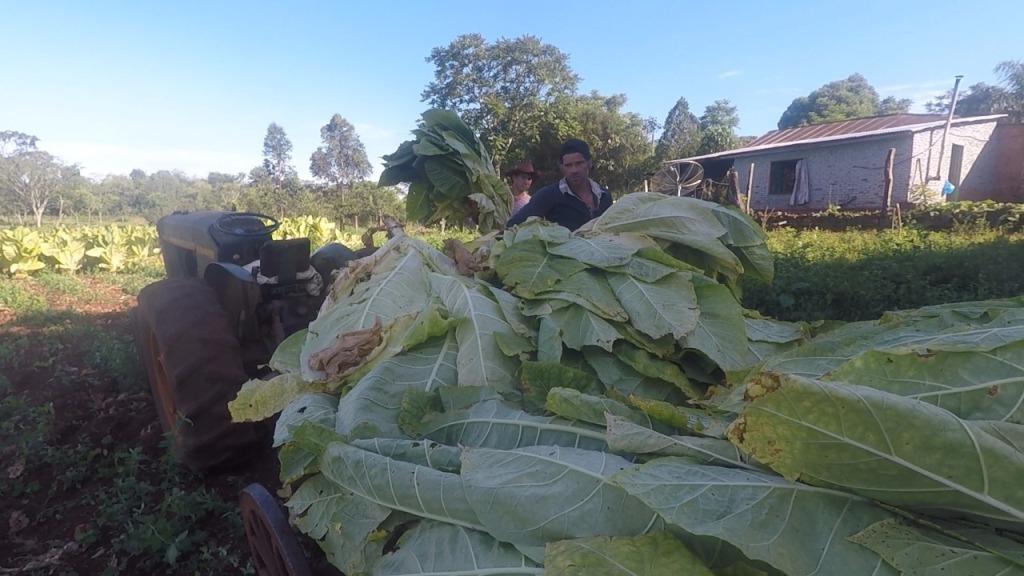 Tabaco: Adelantarán fondos del FET para fertilizantes