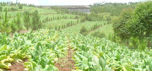 """""""En estos días comenzará la negociación por el precio del tabaco"""", adelantó Garay"""