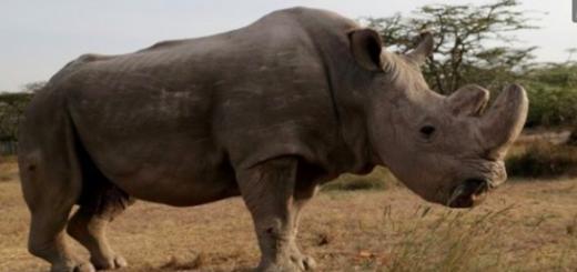 Murió Sudán, el último rinoceronte blanco del mundo