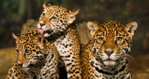 México es líder en Latinoamérica en estrategias de conservación para la protección del jaguar