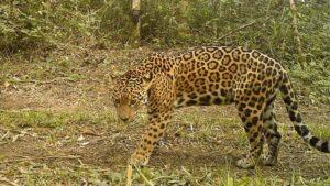 Conservación en tierras privadas: Siete propietarios de San Pedro apuestan a mantener la selva, el hábitat del yaguareté