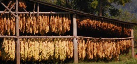 Tabacaleros tienen todo listo para iniciar el acopio del tabaco