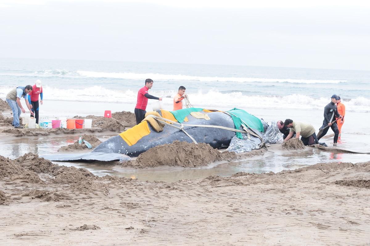 Realizan tareas para reinsertar en su hábitat a la ballena que quedó anclada en la costa de Mar del Plata
