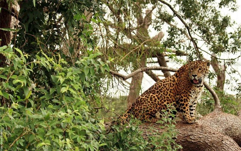 Nación y Provincia anunciaron medidas conjuntas para la preservación del yaguareté