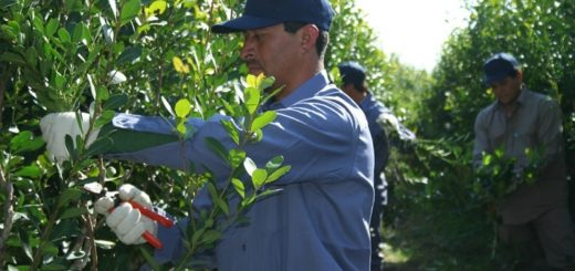 Yerba mate: se consolida la recuperación del ingreso de hoja verde a secaderos