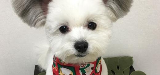 """""""Goma"""" el perro con orejas de Mickey, es el nuevo mimado de Instagram"""