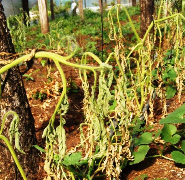 La Comisión Hortícola provincial recomienda prevenir el marchitamiento del tomate
