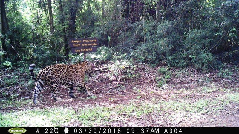Un nuevo Yaguareté juvenil fue registrado en el Parque Provincial Salto Encantado