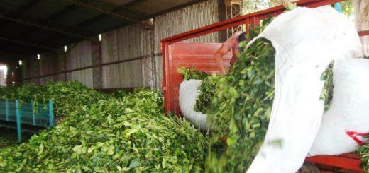 Cooperativa de Colonia Guaraní exportará yerba molida a Chile