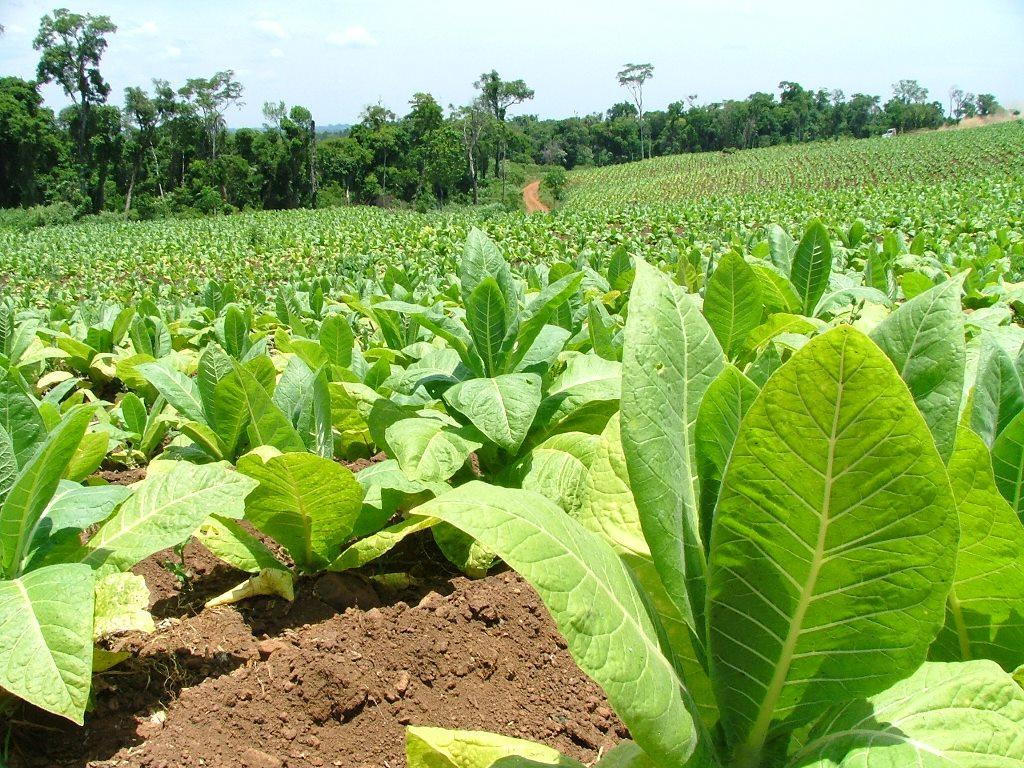 Tabaco: productores pedirán reunirse con Etchevehere por deudas del FET