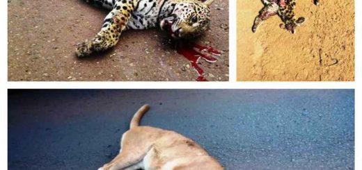 En lo que va del año atropellaron y mataron a 18 felinos en rutas de áreas protegidas misioneras