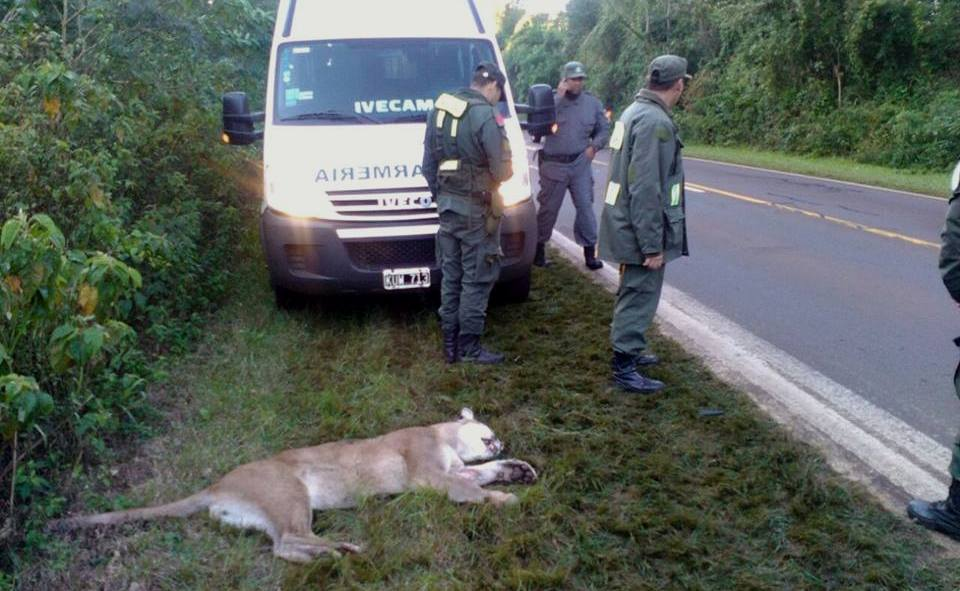 Intendente de Parque Nacional Iguazú lamentó la falta de conciencia de conductores en zonas de áreas naturales protegidas