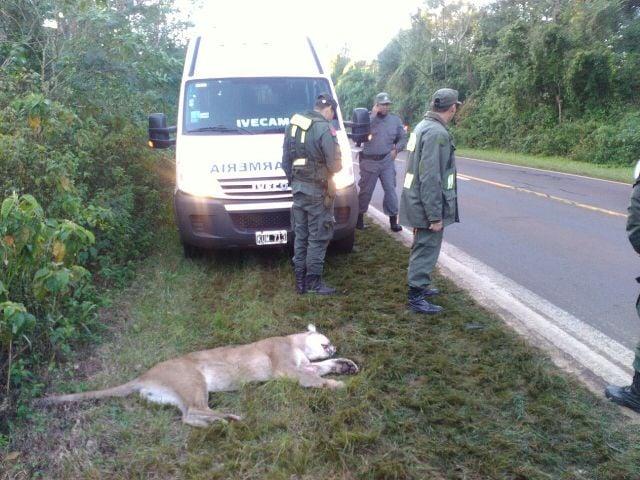 Iguazú: Atropellaron a otro puma en la ruta 12