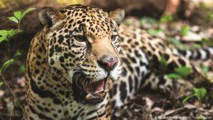 Biodiversidad: incluyeron al yaguareté en acciones globales de conservación de especies migratorias, tras la última Conferencia de la Convención de Bonn