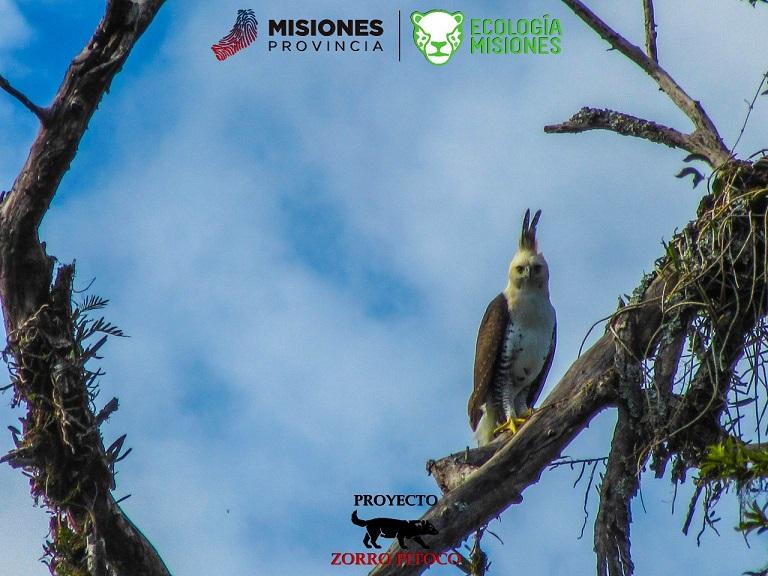 Luego de quince años se logró avistar un águila harpía en cercanías del parque Urugua í