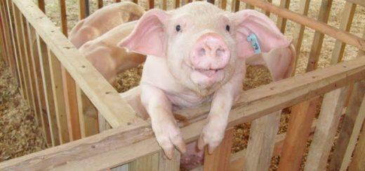 """""""Está demostrado que la actividad porcina es una alternativareal en la chacra del productor"""", afirman desde la COFRA"""