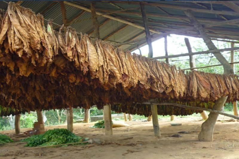 Mañana pagarán a tabacaleros más de 35 millones de pesos