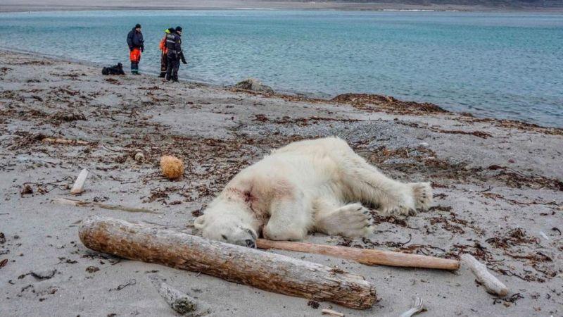 Noruega: un guía turístico asesinó a un oso polar porque atacó a su compañero