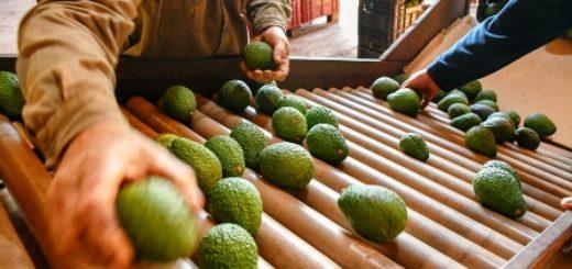 Productores enviaron más de 20 toneladas de palta al Mercado Central de Buenos Aires