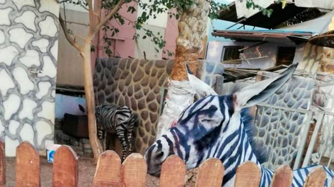 Un zoológico de Egipto pintó rayas a los burros para que parezcan cebras
