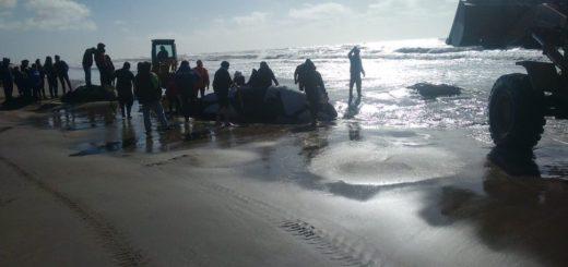 Buscan salvar la vida de una orca que encalló en Nueva Atlantis