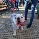 La historia de Boy, el perro que caminó de Palermo a Temperley para volver a su antiguo hogar