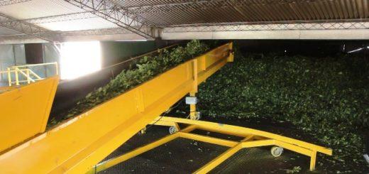Yerba mate: secaderos recibirán certificados en Buenas Prácticas de Manufactura