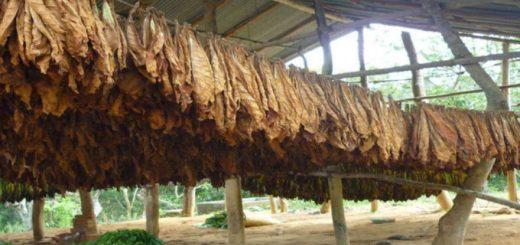 Tabaco: mañana se paga la tercera cuota del retorno y el 26 de septiembre comienza el Censo Tabacalero