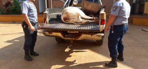Cuatreros fueron sorprendidos en pleno robo de ganado en San Pedro y huyeron de la Policía a los tiros