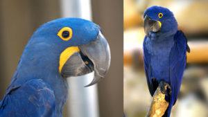 """El guacamayo azul fue declarado """"extinto en estado silvestre"""" entre un total de ocho aves de Sudamérica que no volveremos a ver"""