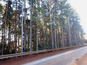 Propusieron eliminar la cortina de pinos que bordea el acceso al Aeropuerto Internacional Iguazú con un plan de restauración ecológica del paisaje