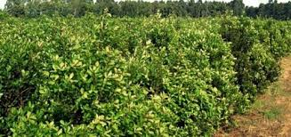 Precio de la yerba: los productores pedirán un mínimo de $10 por kilo de hoja verde