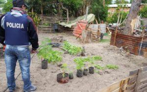 Corrientes: Allanaron una casa y encontraron una plantación de marihuana