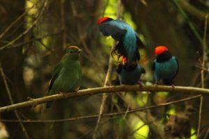 Tres aves autóctonas de la selva misionera serán declaradas Monumentos Naturales: el Loro Vinoso, el Bailarín Castaño y el Bailarín Azul