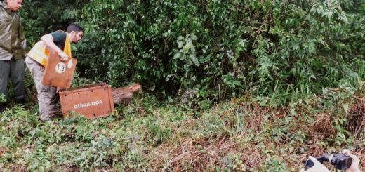 Ocelote vuelve al monte: a 15 días de su atropellamiento en la Ruta 211, hoy volvió sano a su hábitat gracias a un gran trabajo de rehabilitación